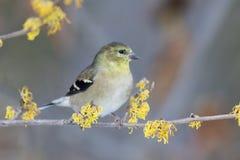 Американский Goldfinch садить на насест в цветя кустарнике ведьмы карем стоковое фото rf