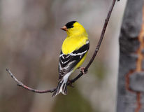 Американский goldfinch с запачканной предпосылкой Стоковое Изображение