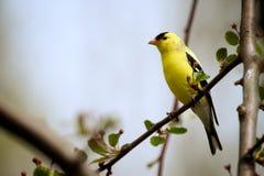 американский goldfinch Стоковые Изображения