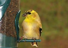 американский goldfinch Стоковая Фотография RF