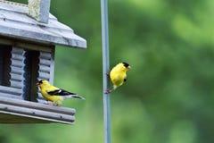 американский goldfinch Стоковое Изображение
