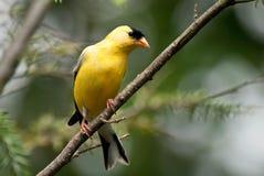 американский goldfinch Стоковое Фото