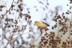 Американский Goldfinch Стоковое Изображение RF