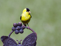 американский goldfinch Стоковое фото RF