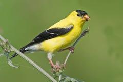 американский goldfinch Стоковые Фотографии RF