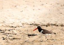 Американский Haematopodidae Oystercatcher ища для закусок на пляже Стоковые Изображения