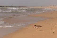 Американский Haematopodidae Oystercatcher с мидией на пляже Стоковое фото RF