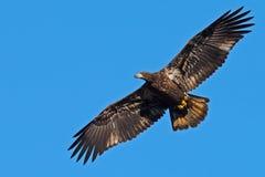 американский juvenile облыселого орла Стоковое Изображение RF