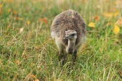 Американский juvenile rhea Стоковое Изображение RF