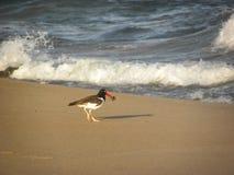 Американский oystercatcher есть в пляже стоковое фото