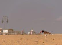 Американский Oystercatcher на пляже Стоковые Изображения RF