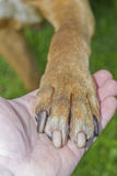 Американский pitbull-terrier Стоковые Фотографии RF