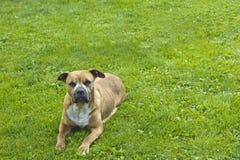 Американский pitbull-terrier Стоковые Изображения