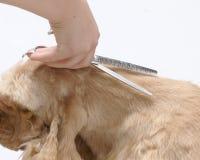 американский spaniel любимчика собаки плитаа Стоковое Изображение RF