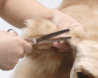 американский spaniel любимчика собаки плитаа Стоковое Фото
