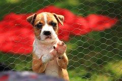 американский terrier ямы быка стоковая фотография rf