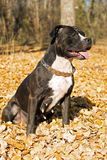 американский terrier staffordshire портрета Стоковое Изображение RF