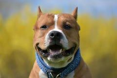 американский terrier staffordshire портрета Стоковые Изображения RF