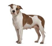 американский terrier staffordshire стоящий Стоковые Изображения RF
