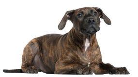 американский terrier staffordshire щенка Стоковая Фотография