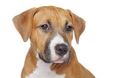 американский terrier staffordshire щенка Стоковое фото RF
