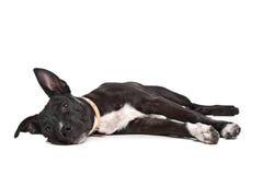 американский terrier staffordshire щенка Стоковое Изображение RF