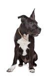 американский terrier staffordshire щенка Стоковые Изображения RF