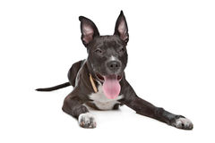 американский terrier staffordshire щенка Стоковые Фотографии RF