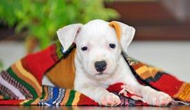 американский terrier staffordshire щенка стоковая фотография rf
