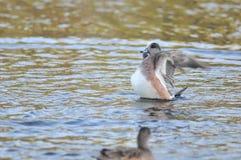 американский wigeon утки Стоковое Изображение
