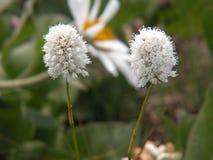 Американский Wildflower Bistort Стоковая Фотография
