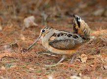 американский woodcock ухаживания Стоковые Фотографии RF