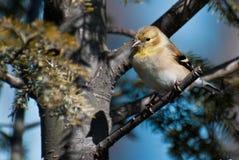 американским вал ый goldfinch Стоковые Изображения RF