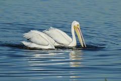 2 американских белых пеликана плавая и ныряя для еды Стоковая Фотография RF