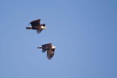 2 американских белоголового орлана в полете Стоковые Изображения RF