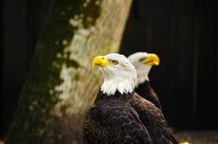 2 американских белоголового орлана Стоковое Изображение