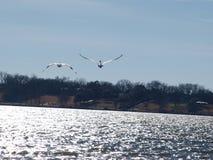 2 американских белых пеликана в полете Стоковое фото RF