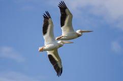 2 американских белых пеликана летая в голубое небо Стоковая Фотография RF