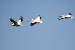 3 американских белых пеликана летая в голубое небо Стоковая Фотография RF