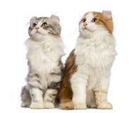2 американских котят скручиваемости, 3 месяца старого, сидя и смотря вверх Стоковое Изображение RF