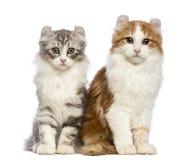 2 американских котят скручиваемости, 3 месяца старого, сидя и смотря камеру Стоковая Фотография RF