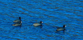 4 американских простофили плавая совместно Стоковое Фото