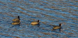 4 американских простофили плавая совместно Стоковое Изображение RF