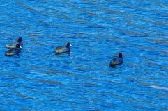 4 американских простофили плавая совместно Стоковые Изображения