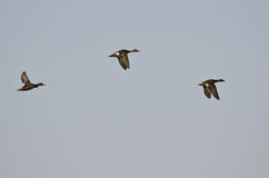 3 американских Wigeons летая в голубое небо Стоковая Фотография RF