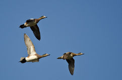 3 американских Wigeons летая в голубое небо Стоковое Фото