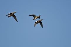 3 американских Wigeons летая в голубое небо Стоковые Изображения RF