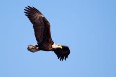 Американское летание белоголового орлана Стоковая Фотография