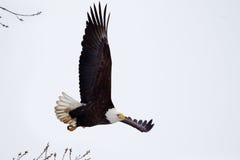Американское летание белоголового орлана стоковые изображения
