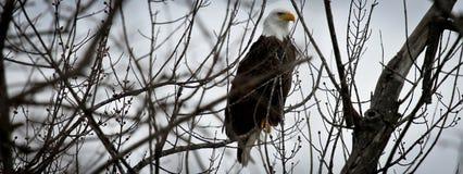 Американское знамя облыселого орла Стоковое Изображение